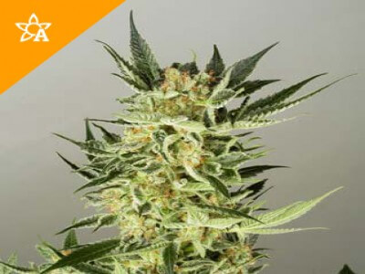 AK48 Automatic Seeds